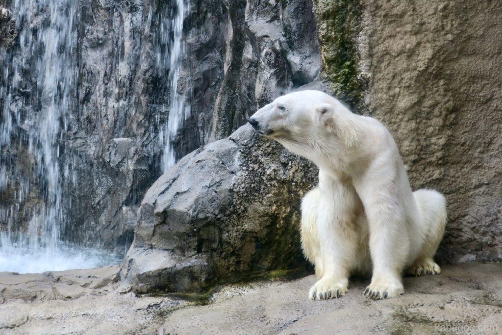 旭山動物園のほっきょくぐま