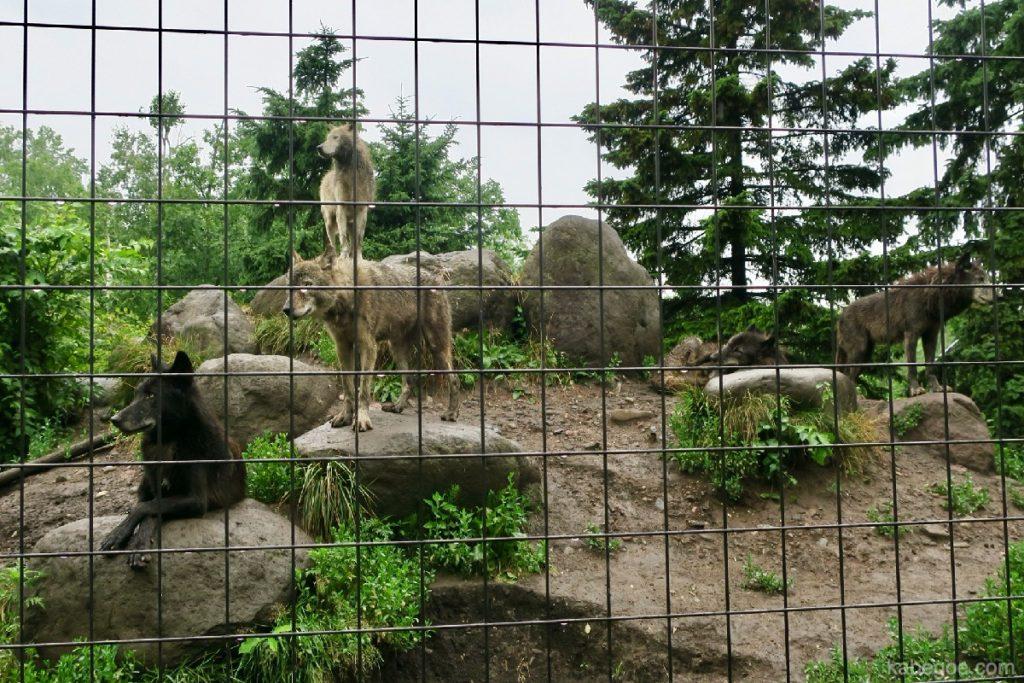 旭山動物園のニホンオオカミ