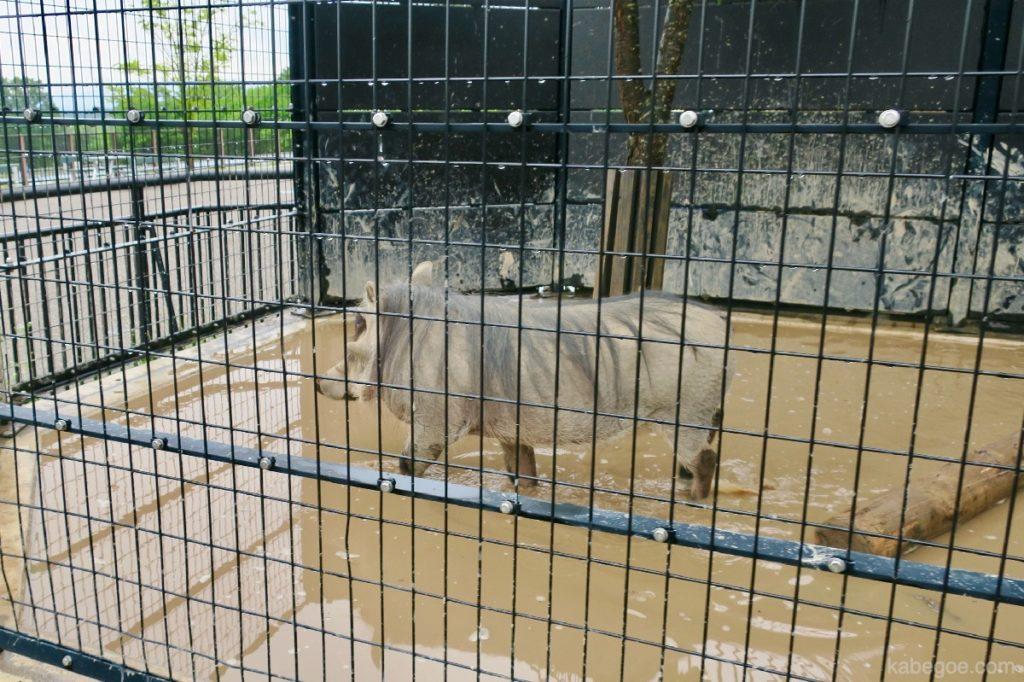 旭山動物園のイボイノシシ