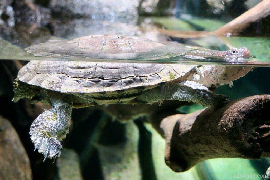 北の大地の水族館のトゲモモヘビクビガメ
