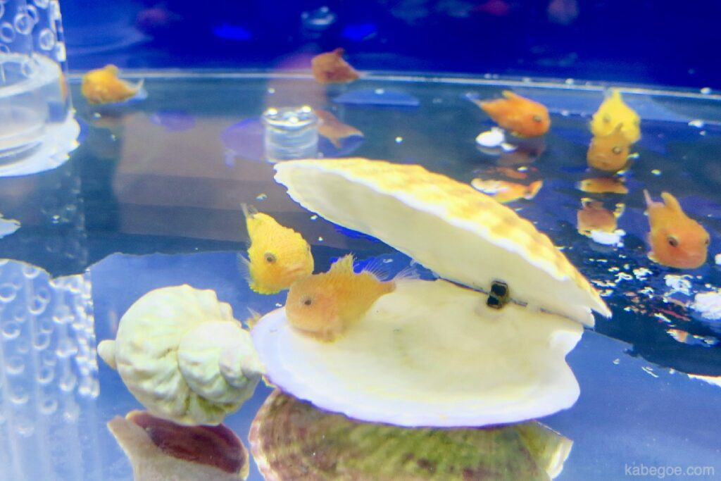 北の大地の水族館のフウセンウオ