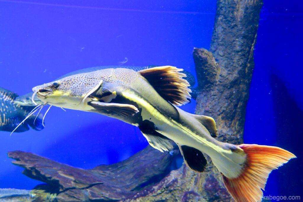 北の大地の水族館のレッドテールフィッシュキャット