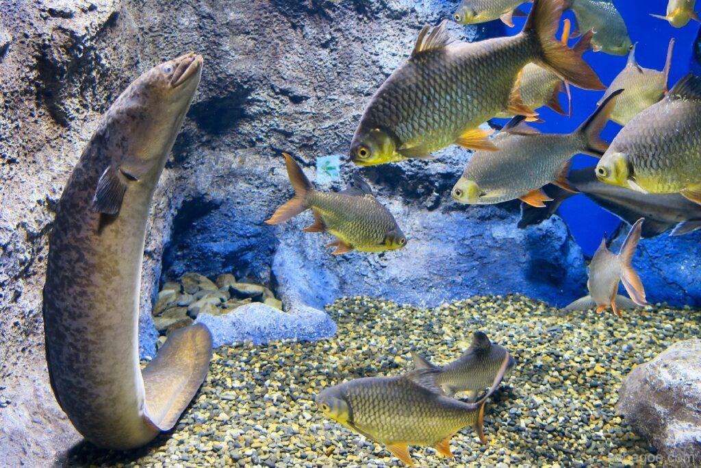 北の大地の水族館の直立するオオウナギ