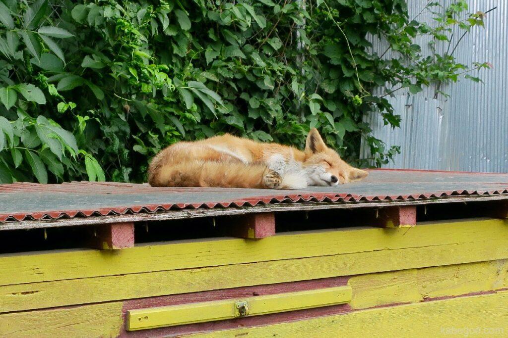 北きつね牧場の寝るキタキツネ