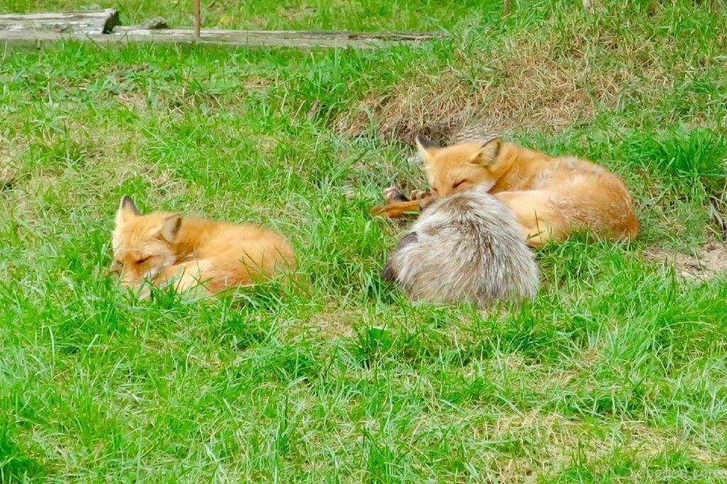北きつね牧場のキツネと一緒に寝るエゾタヌキ