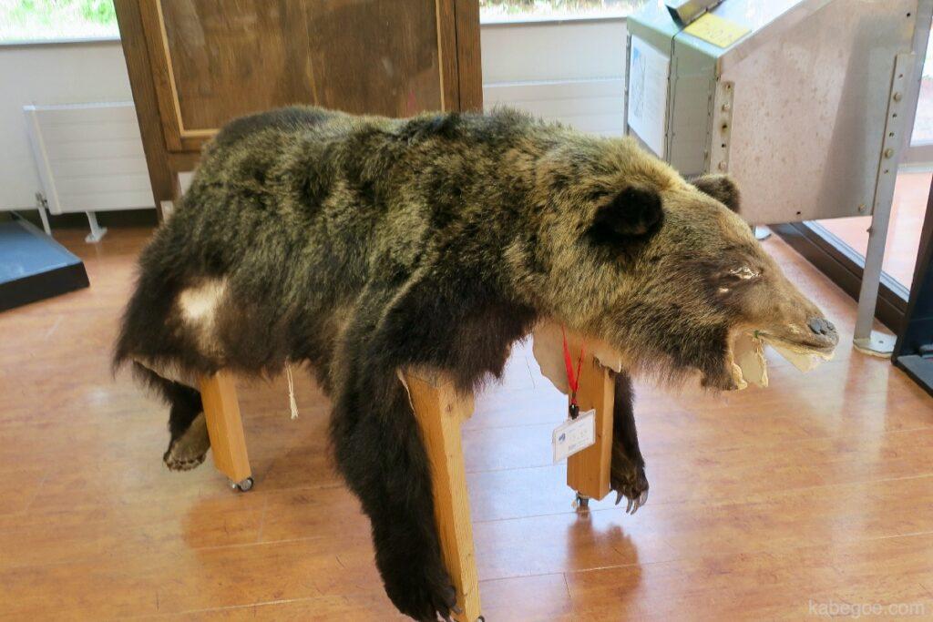 知床五湖のヒグマの剥製