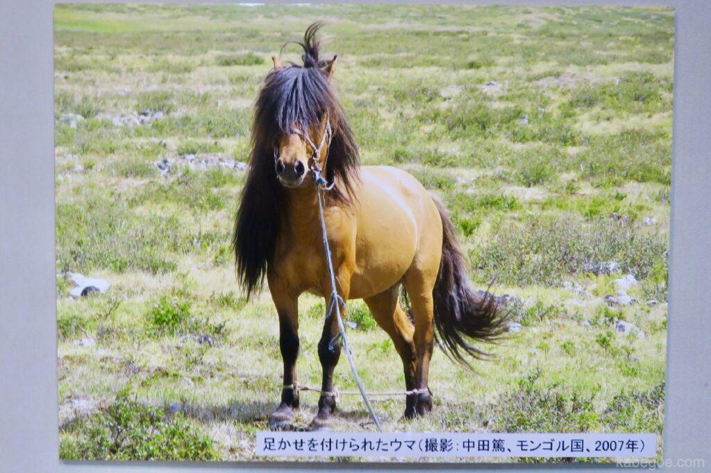 北方民族博物館のモンゴルの髪の毛が長い馬