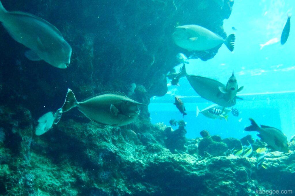 美ら海水族館のヒメテングハギ
