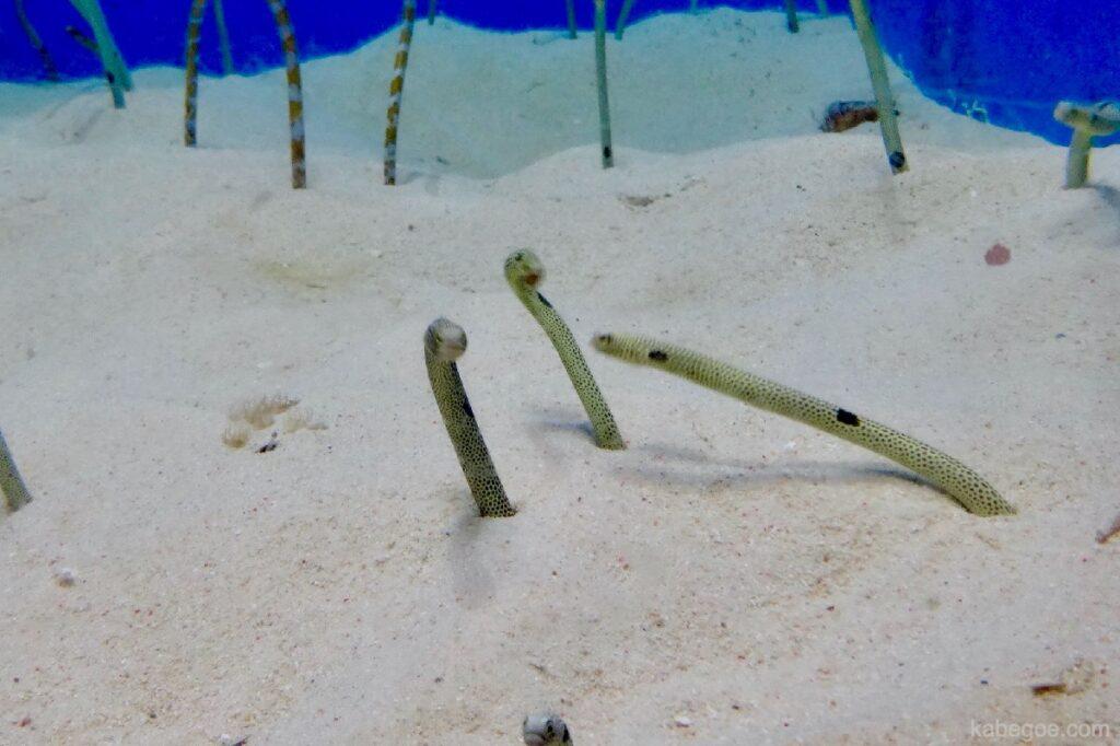 美ら海水族館のチンアナゴ