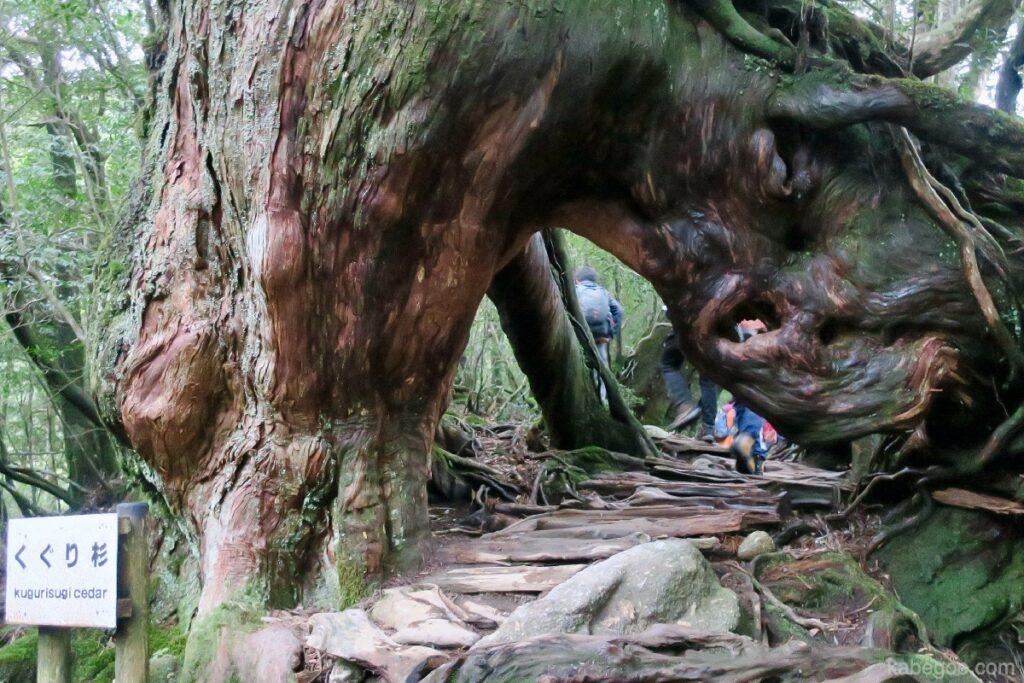 屋久島のくぐり杉