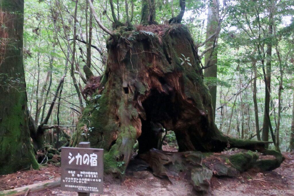 屋久島のシカの宿