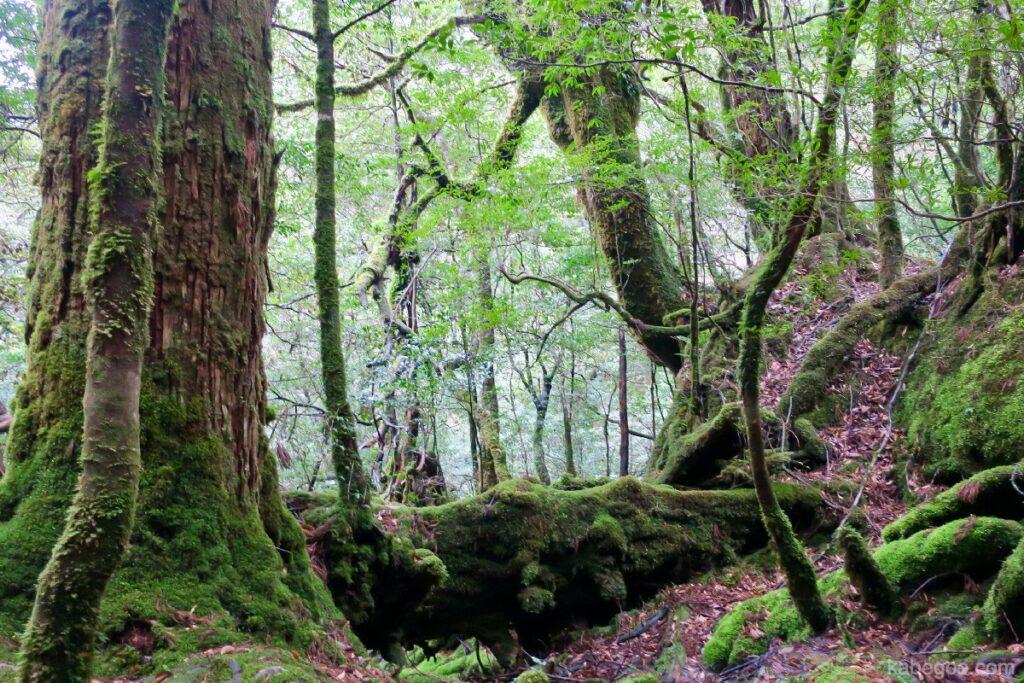 屋久島の苔むすの森