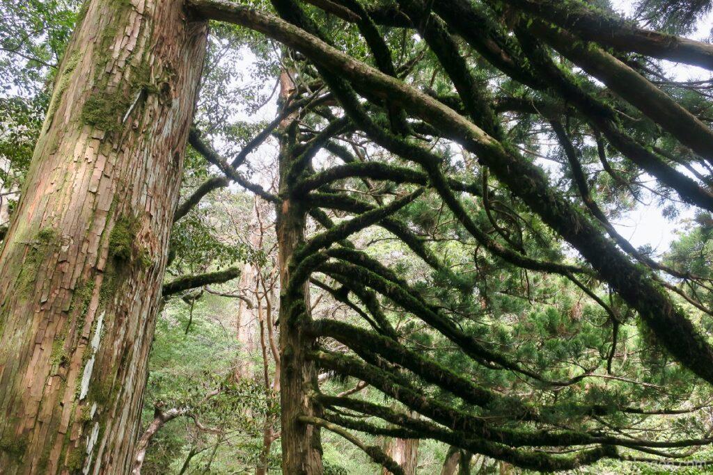 屋久島のタコ杉