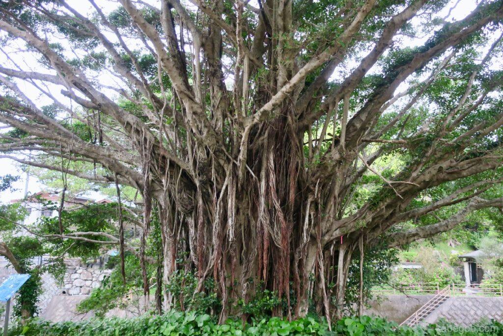 中間ガジュマルの近くの木