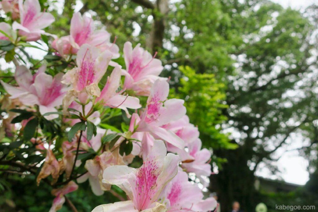 屋久島の中間ガジュマルの近くで咲いていた花