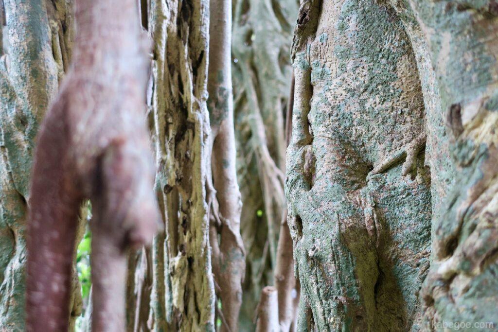 屋久島の中間ガジュマルの表皮