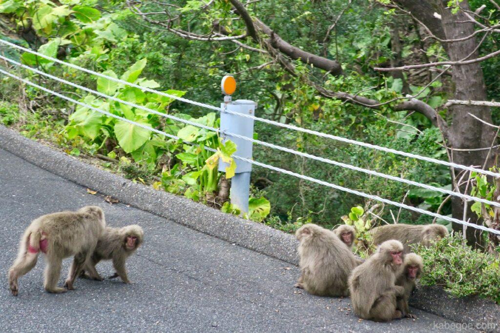 屋久島の道路に出るヤクザル