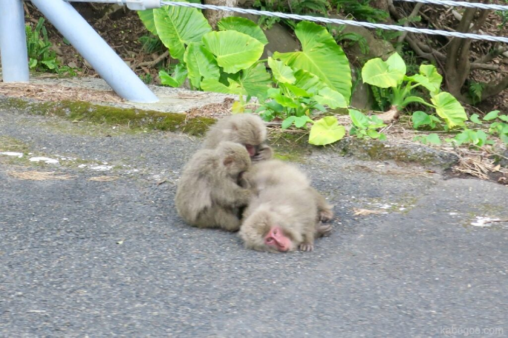 屋久島の道路で毛繕いをするヤクザル