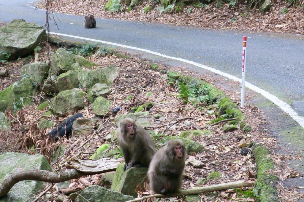 屋久島の道路にいるヤクザル
