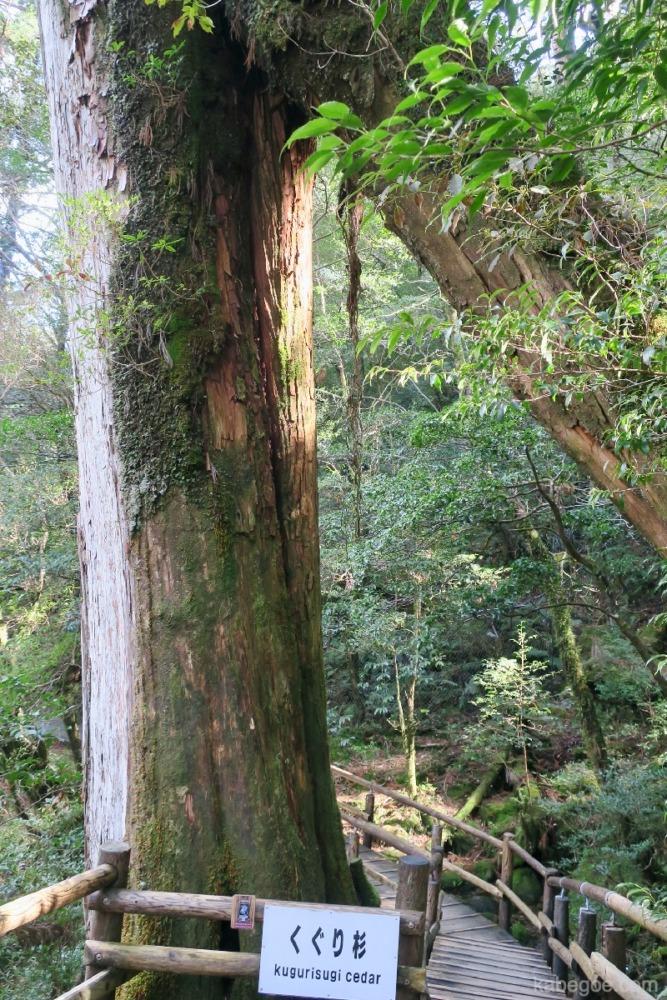 屋久島のヤクスギランドのくぐり杉