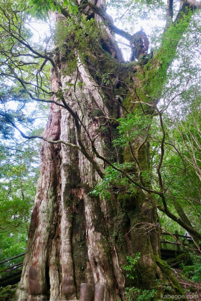屋久島の紀元杉
