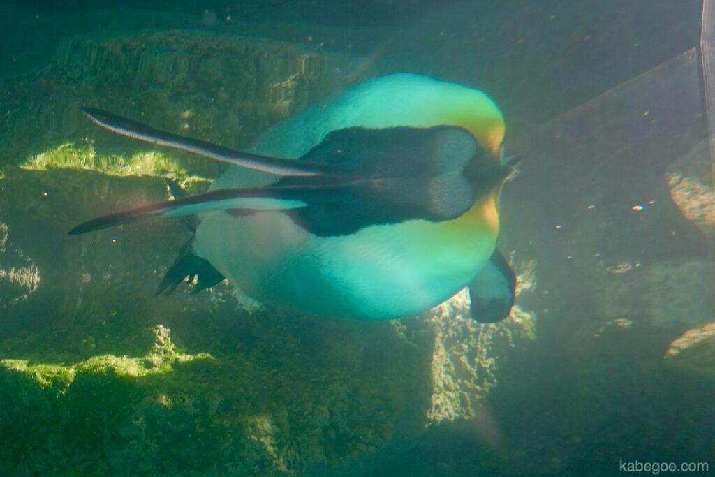 Pinguino reale all'Acquario di Hakone