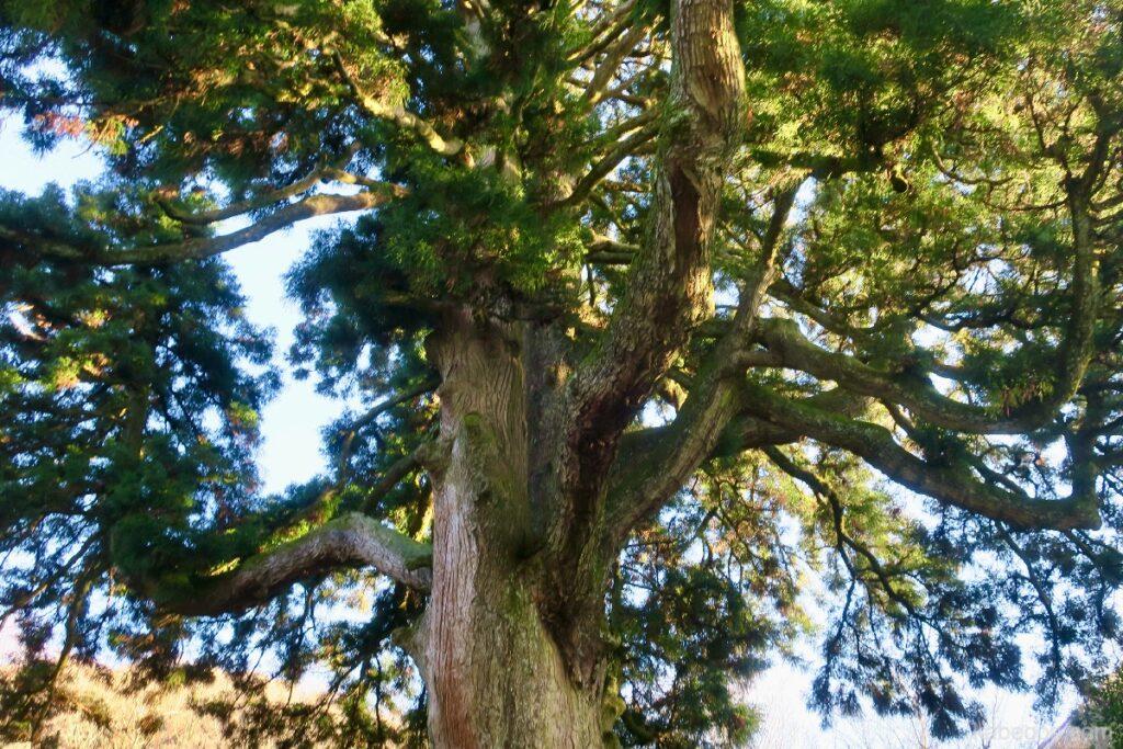 Pohon Sugi di Museum Seni Narukawa