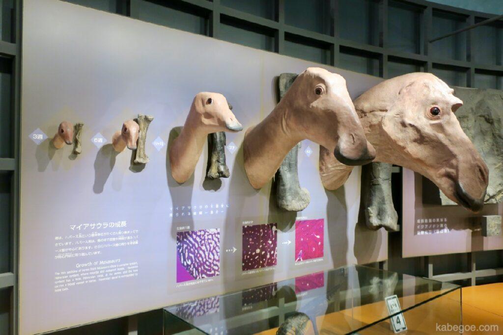 Maiasaura di Museum Dinosaurus Fukui