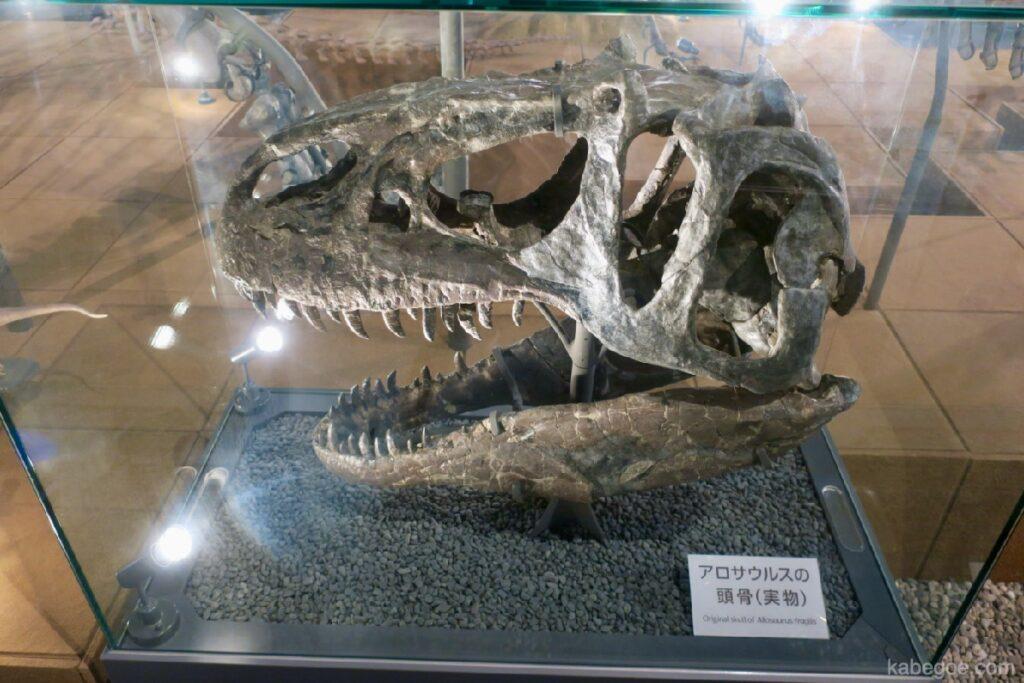 Tengkorak Allosaurus di Museum Dinosaurus Fukui (sebenarnya)